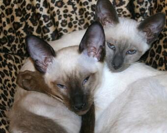 Siamese Kittens Photography, Pet Photography, Animal Photography, Cats, Kittens, Pets, Animals, Nursery Decor, Child's Room Decor, Wall Art