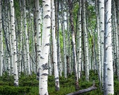 Spring Birch Tree Grove in the Midwest No.0646 - A Landscape Photograph