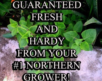 Oregano-NON-GMO Organic Heirloom Herb Seed