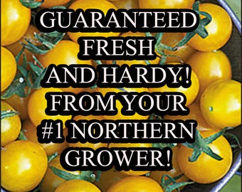 Tomato Blondkopfchen-Yellow Cherry-Non-GMO Organic Heirloom Seed