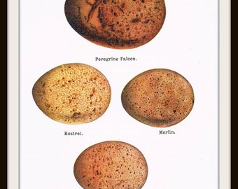 Digital Download Antique Bird Eggs Print for Papercrafts, Transfers, Pillows, Scrapbooks, and more.  No. 4