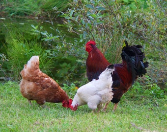 The Hens, Farm Animals, Country Decor,
