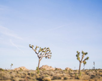 Joshua Tree in color, Desert Landscape Fine Art Photography