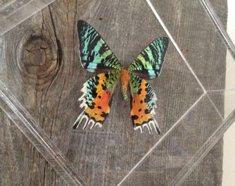 Real Framed Butterfly Taxidermy - Home Decor, Decoration, Unique Decor, Office, Insect Taxidermy, Framed Butterfly, Natural, Colorful