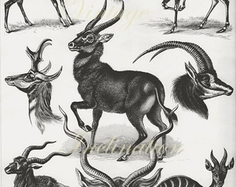 LARGE Vintage HAECKEL Print 100, Antelopes Animal Chart nature beautiful german wall art antique b/w lithograph antlers illustration 1970s