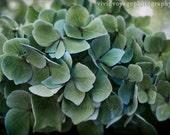 Hydrangea Photo, Blue Green Decor, Feminine Bedroom Art, Floral Photography, Wall Art, Flower Photo, Home Decor, Garden Photography