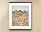 Mt Evan's Bighorns // Colorado Sheep Rocky Mountain Wildlife Nature Art Photography // Prints: 5x7 8x10 8x12 11x14