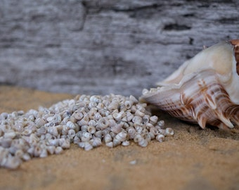 Beach Decor Seashells - Tiny Venetian Pearl Seashells 1/2 Cup for Nautical Decor, Beach Weddings or Crafts