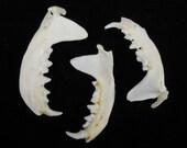 "1.5"" Mink Jaw Bones Real Mandible Taxidermy Animal Head"