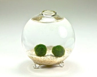 SALE Marimo Moss Ball Couple In Glass Orb Vase - Glass Globe Aquarium, Christmas Gift for Him, Gift for Her, Gift for Men, Gift for Women
