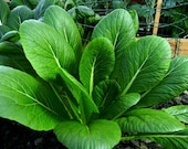 Komatsuna, Japanese leafy greens, 250 heirloom seeds,(non-GMO, mild mustard spinach, great in stir fry, loves cool weather