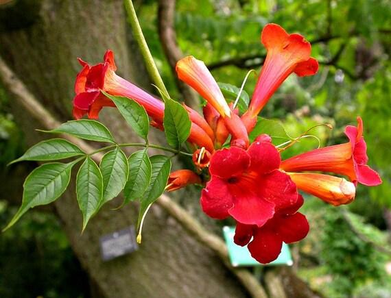 red trumpet vine campsis radicans 25 seeds vigorous. Black Bedroom Furniture Sets. Home Design Ideas