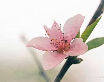 Peach Blossom, Fine Art Photography, Flower Photography, Floral Photography, Nature Photography