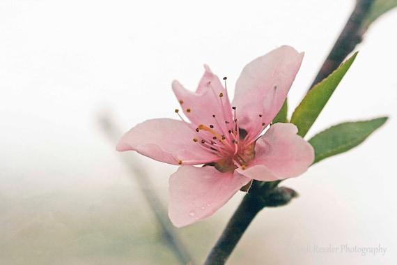 Photo, Peach Blossom, Photography, Floral, Flower, Garden, Nature Lover, Housewarming Gift, Wall Decor, Home Decor, Living Room Decor, Gift