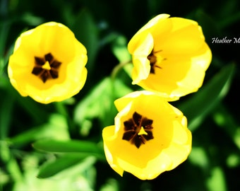 "Three Bells yellow tulips hope, aspiration & determination ~ ""There's sunshine in your smile"" fine art garden photography"
