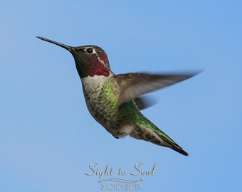 Hummingbird Photography, flying annas humming bird art, bird photography, hummingbird gifts, nature wall decor, fine art print