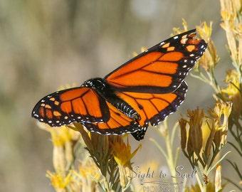 Monarch Butterfly Photo, nature photography, southwestern art, butterfly gifts, fine art print