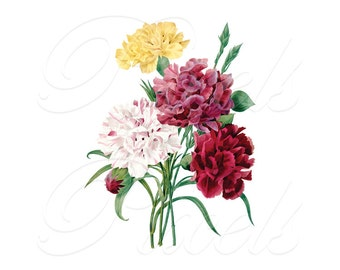 CARNATIONS bouquet Instant Download flowers Download, wedding flower clipart vintage illustration Redoute 297