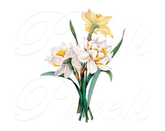 DAFFODILS Instant Download Large Digital Image, digital download yellow white flowers narcissus Redoute 229