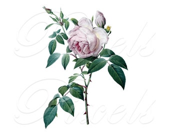 ROSE of Redoute, Instant Download, wedding images, pink roses, pink rose, damascena, Digital Downloads pink flowers clipart 417