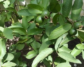 Dried Guava/ Guajava / Guayaba Leaves - 2 Oz