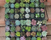 """10  AMAZING Assorted Succulents in their 2.5"""" round containers Ideal for Wedding FAVORS party gifts Echeverias+"""