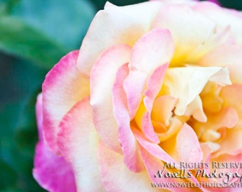 Elegant Pink and Yellow Rose Petal Details - Minimalist Photography in Powerscourt Gardens - County Wicklow Ireland Home Decor