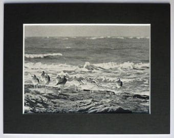 Vintage Bird Print of Whimbrel, ornithology photograph print available framed art print, black and white nature photography old photo print
