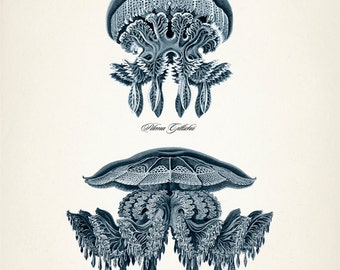 Navy Blue Jellyfish - OC-19 Fine art print of a vintage natural history antique illustration