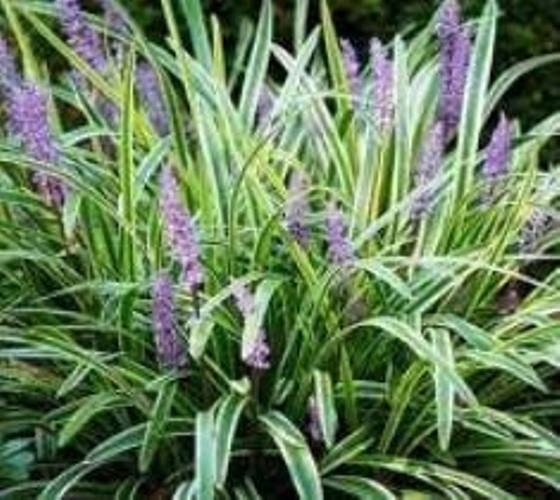 Variegated liriope plants monkey grass by newlifenurserydotnet for Variegated grass plant