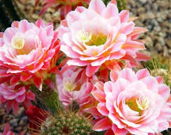 Cactus Flower Premium Fragrance Oil  Available In Several Sizes