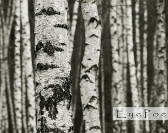 Gang of Birch trees photograph 5x7  photo 8x10 size 8x12 print 11x17 nature photography