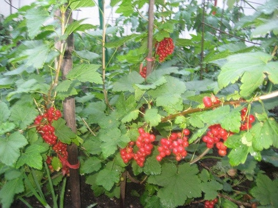 how to grow a currant bush