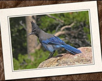 3 Stellar's Jay Photo Note Cards - 5x7 Stellar's Jay Note Card - Bird Note Cards With Envelopes - Bird Greeting Cards Handmade (IN146)