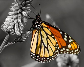 "monarch butterfly photo: black white and orange pop of color photo 11x14"" butterfly art"