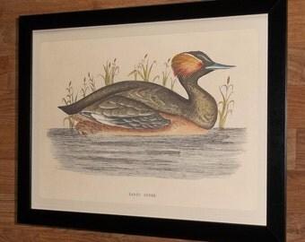 Framed Duck print, framed duck wall art -12''x16'', Eared Grebe print