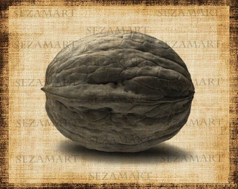 Walnut - Printable Digital Graphic Illustration - Image Download - Clip Art for Transfers - Download and Print - Scrapbooking