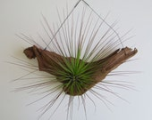 Tillandsia Juncifolia Mounted on Driftwood