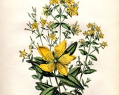 1846 Antique Botanical Print St Johns Wort Herb Herbal Yellow Flowers Jane Loudon