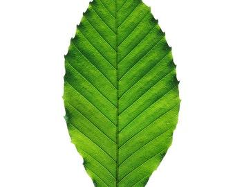 American Beech leaf