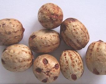 5 Seeds Choerospondias axillaris,  Lapsi Hog plum Seeds