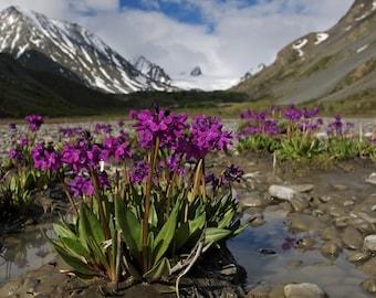 10  Seeds Primula nivalis