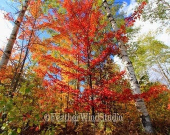 Nature Landscape Photograph | Northern Michigan Forest Picture | Fall Color Art | Red Maple | Birch Trees | Woods Home Office Wall Art Print