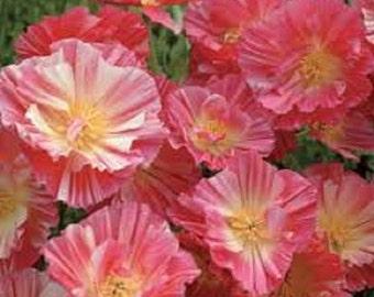 Peach Strawberry California Poppy Flower Seeds / Eschscholzia / Annual 40+