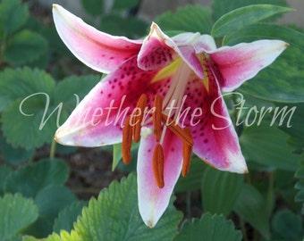 "Pink Tiger Lily ""Predatory Posy"""