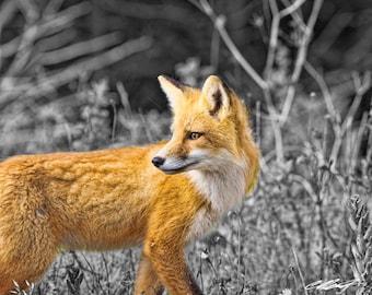 Red Fox Portrait Portrait