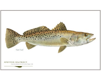 Spotted Seatrout Open Edition Print by Flick Ford, Southern gamefish, Gulf Coast, Florida, natural history art, fish art, gamefish picture