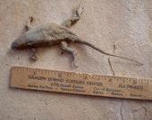 Real Dried Desert Lizard Terrarium Decor Natural Found Object Arts Crafts Supplies