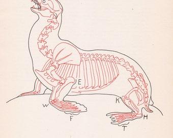 Vintage Sea Lion Anatomy Print Skeleton Illustration Book Plate Color Animal