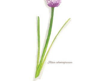 Chives Herb Watercolor Illustration Print
